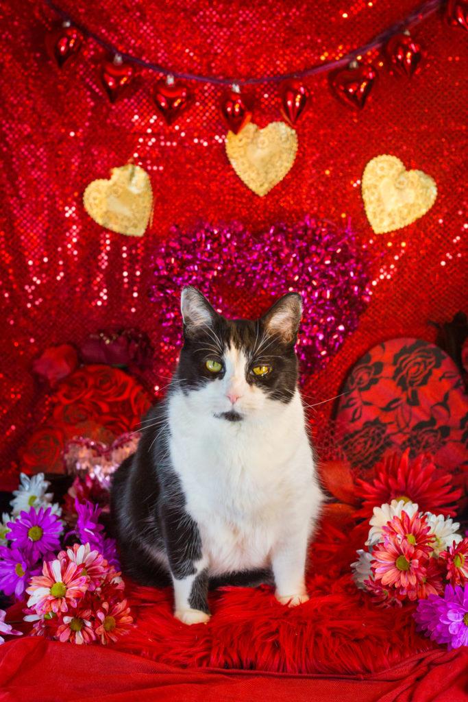 Valentine's Day Glamour Cat Photos!